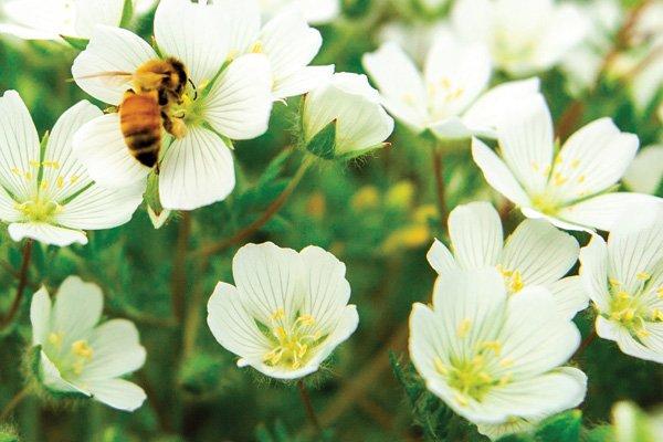 Meadowfoam: The LITTLE flower that's a BIG deal % - Natural